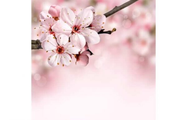 Фотообои Цветы абрикоса
