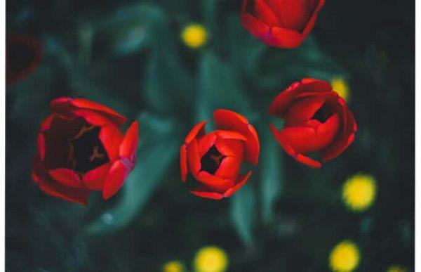 Фотообои красные тюльпаны