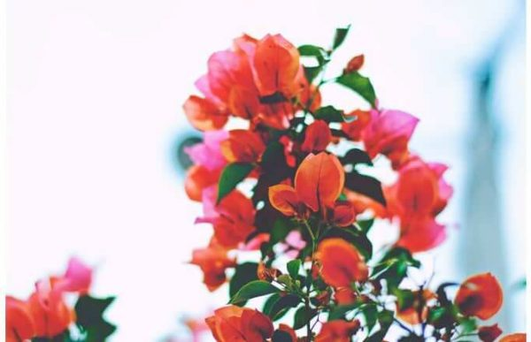 Фотообои Алые цветы