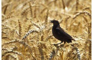 Фотообои Ворон в пшенице