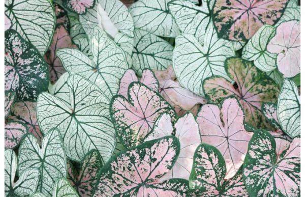 108002 Розовые листья