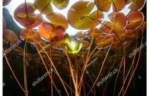 Фотообои Лилия под водой