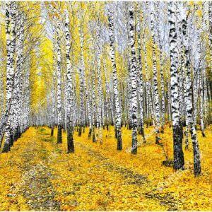 Фотообои Осенняя березовая роща