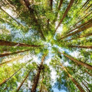 Фотообои Вид снизу на верхушки леса