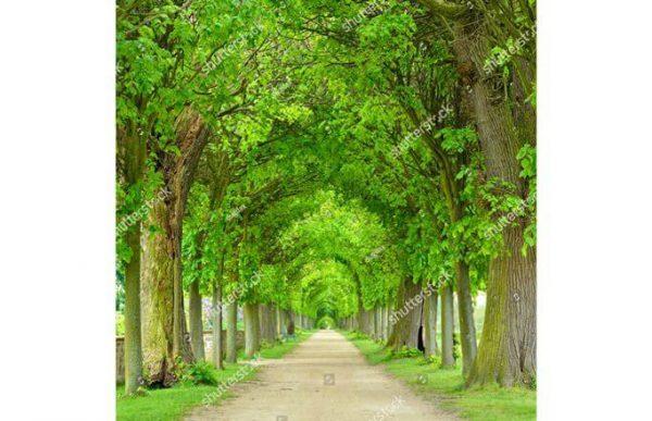 Фотообои Аллея из вековых деревьев