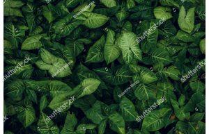 Фотообои Листья Сингониум-батерфляй