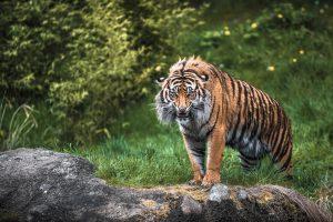 Фотообои Рычащий тигр