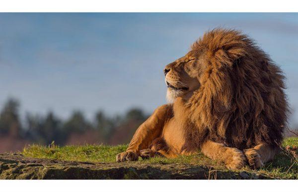 Фотообои Отдыхающий лев