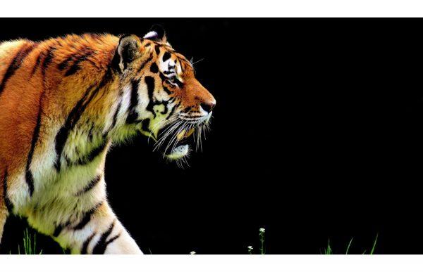 Фотообои Тигр на черном фоне