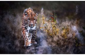 Фотообои Крадущийся ягуар