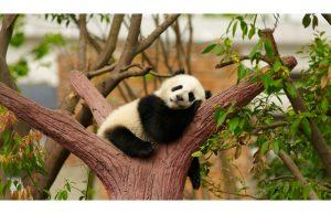 Фотообои Спящая панда
