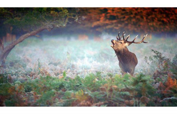 Фотообои Рёв оленя