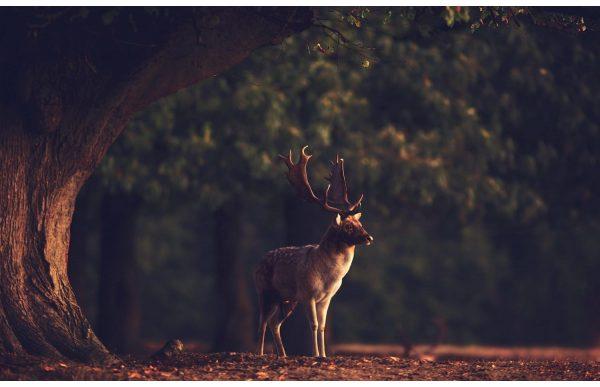 Фотообои Статный олень