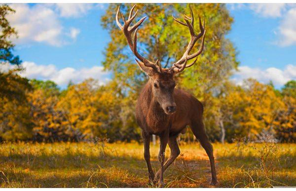 Фотообои Любопытный олень
