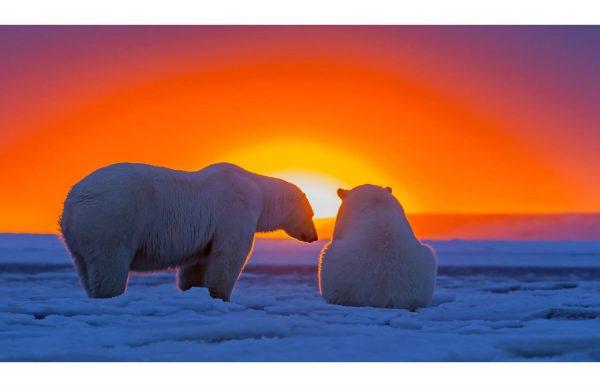 Фотообои Белые медведи на закате
